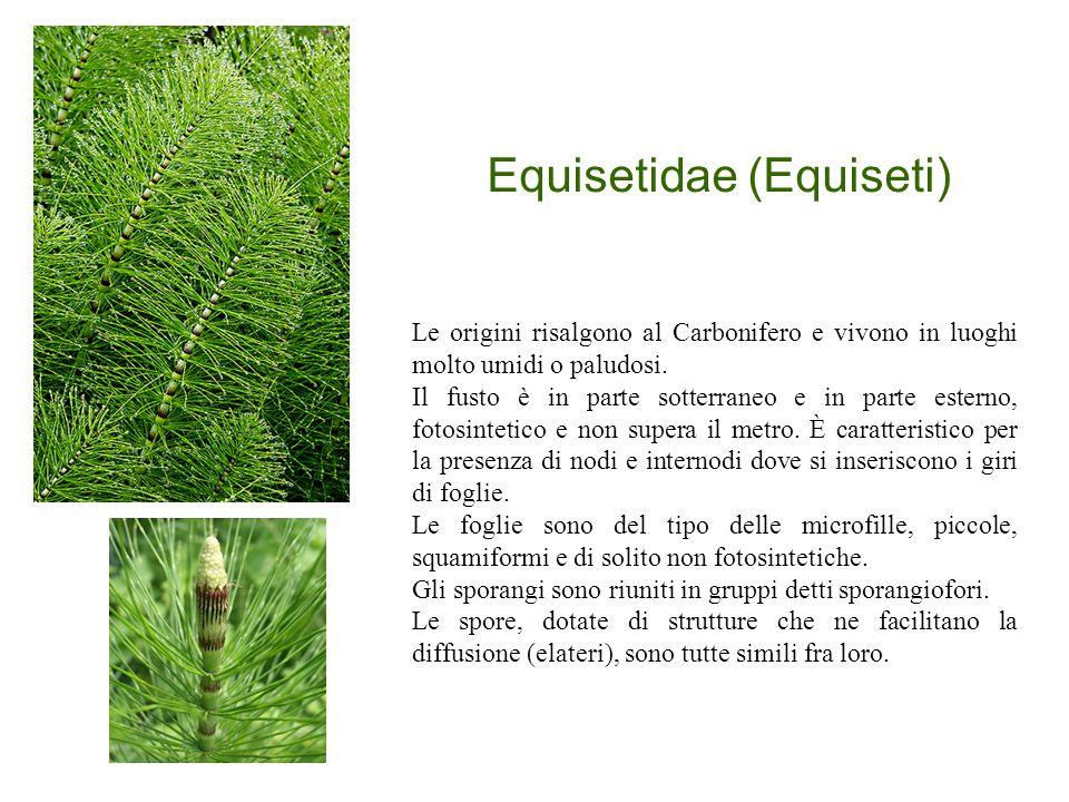 Equisetidae (Equiseti) Le origini risalgono al Carbonifero e vivono in luoghi molto umidi o paludosi. Il fusto è in parte sotterraneo e in parte ester