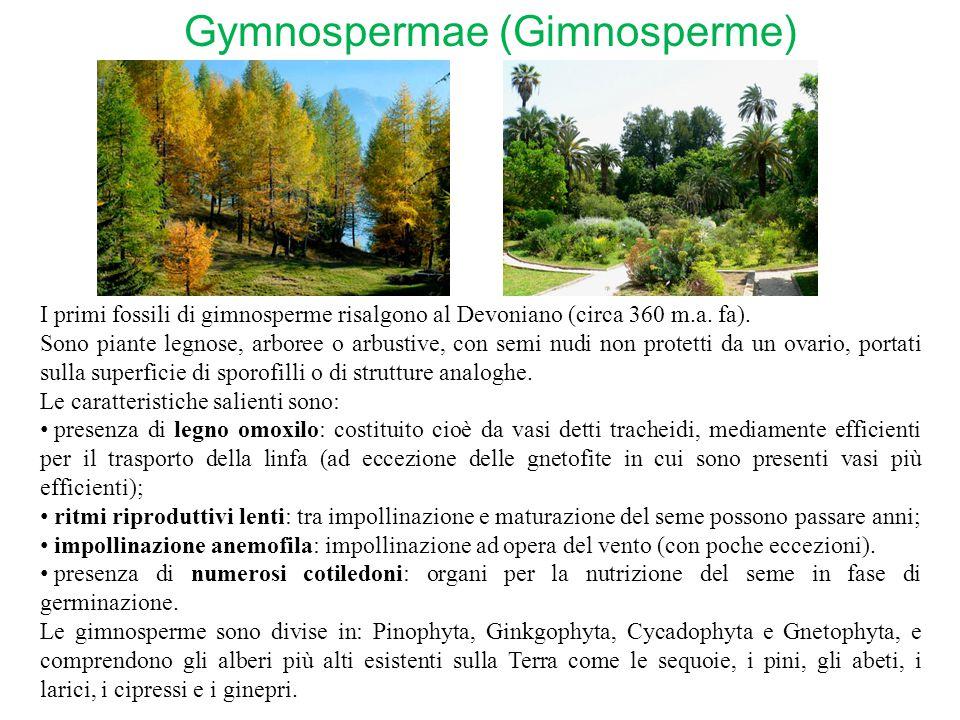 Gymnospermae (Gimnosperme) I primi fossili di gimnosperme risalgono al Devoniano (circa 360 m.a. fa). Sono piante legnose, arboree o arbustive, con se