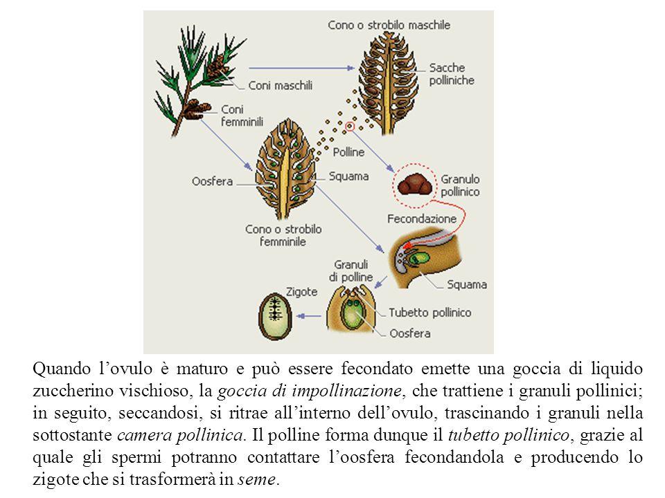 Quando l'ovulo è maturo e può essere fecondato emette una goccia di liquido zuccherino vischioso, la goccia di impollinazione, che trattiene i granuli