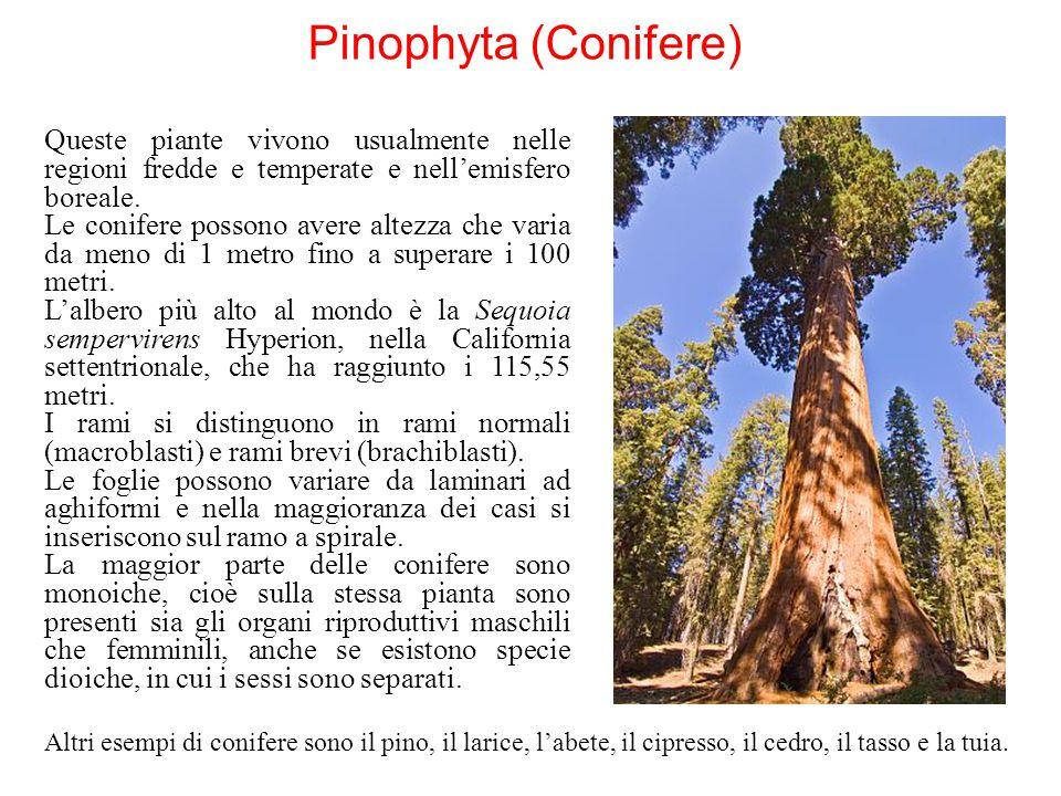 Pinophyta (Conifere) Queste piante vivono usualmente nelle regioni fredde e temperate e nell'emisfero boreale. Le conifere possono avere altezza che v