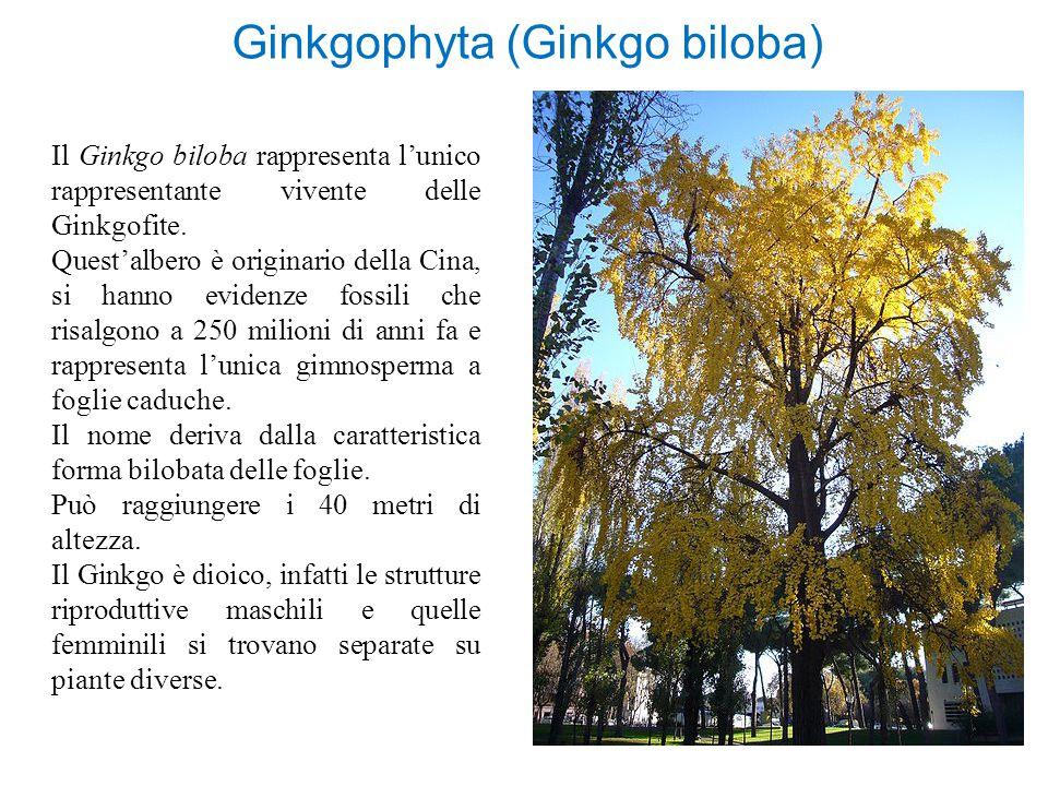 Ginkgophyta (Ginkgo biloba) Il Ginkgo biloba rappresenta l'unico rappresentante vivente delle Ginkgofite. Quest'albero è originario della Cina, si han