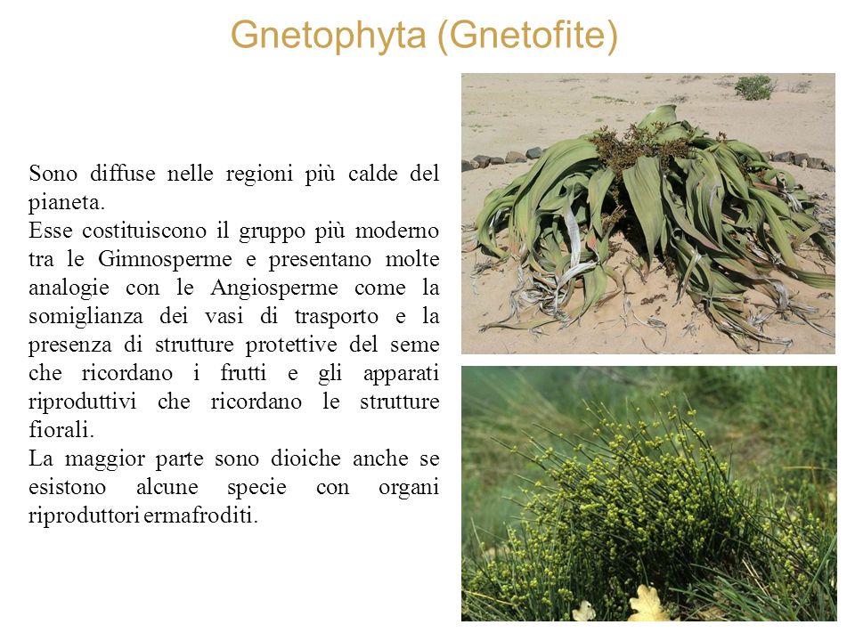 Gnetophyta (Gnetofite) Sono diffuse nelle regioni più calde del pianeta. Esse costituiscono il gruppo più moderno tra le Gimnosperme e presentano molt