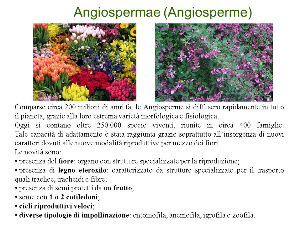 Angiospermae (Angiosperme) Comparse circa 200 milioni di anni fa, le Angiosperme si diffusero rapidamente in tutto il pianeta, grazie alla loro estrem