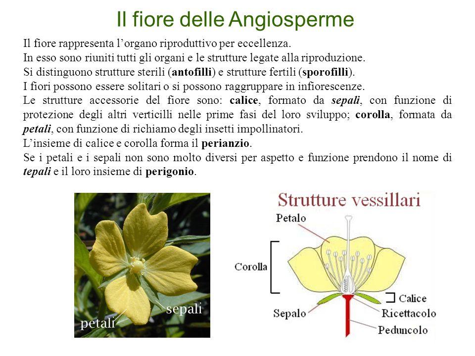 Il fiore delle Angiosperme Il fiore rappresenta l'organo riproduttivo per eccellenza. In esso sono riuniti tutti gli organi e le strutture legate alla