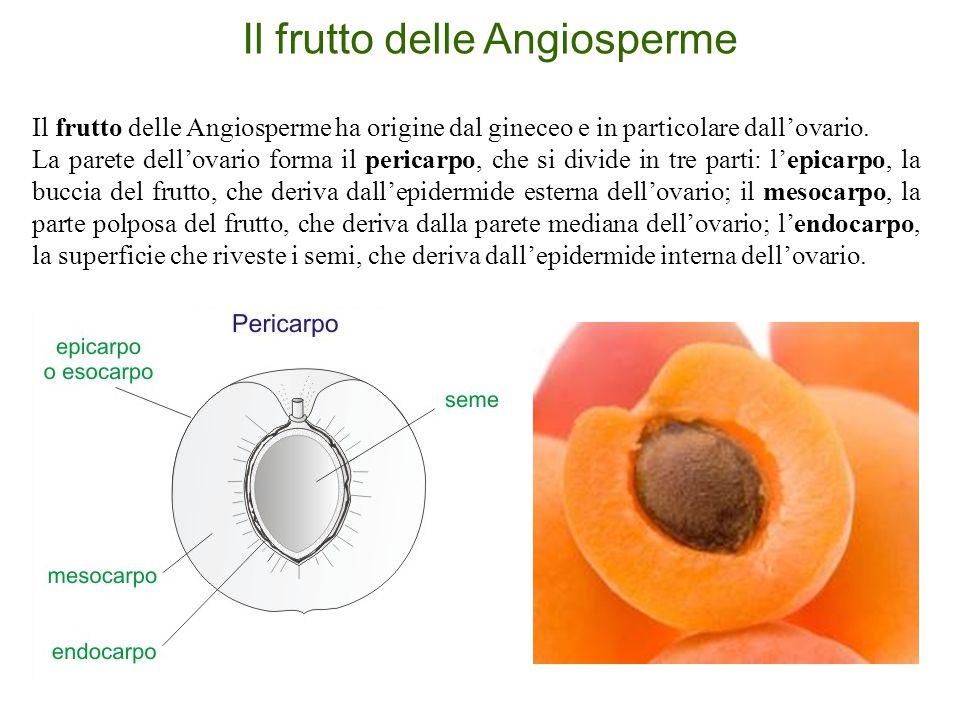 Il frutto delle Angiosperme Il frutto delle Angiosperme ha origine dal gineceo e in particolare dall'ovario. La parete dell'ovario forma il pericarpo,