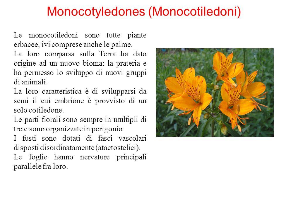 Monocotyledones (Monocotiledoni) Le monocotiledoni sono tutte piante erbacee, ivi comprese anche le palme. La loro comparsa sulla Terra ha dato origin