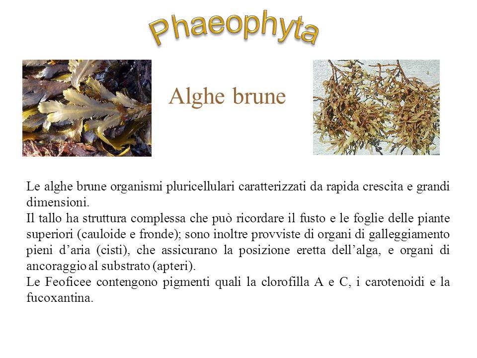 Le alghe brune organismi pluricellulari caratterizzati da rapida crescita e grandi dimensioni. Il tallo ha struttura complessa che può ricordare il fu