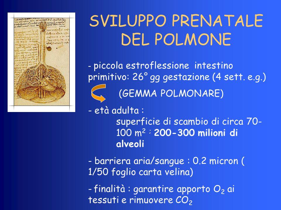 SVILUPPO PRENATALE DEL POLMONE - piccola estroflessione intestino primitivo: 26° gg gestazione (4 sett. e.g.) (GEMMA POLMONARE) - età adulta : superfi