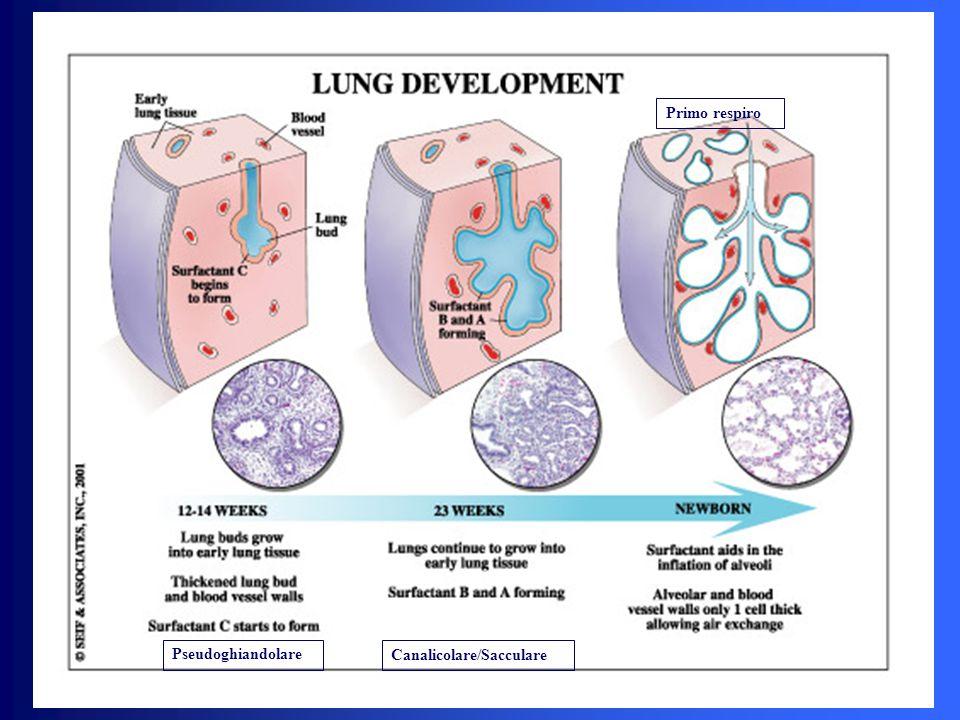 Pseudoghiandolare Canalicolare/Sacculare Primo respiro