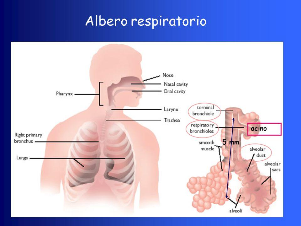 La meccanica polmonare (studio dei movimenti dei gas respiratori) Volume corrente (TV): volume di gas inspirato o espirato in un singolo respiro (ml/Kg) 4-7 Ventilazione minuto (VM): volume di gas respirato in un minuto (TV x FR) (ml/Kg/min) v.n.
