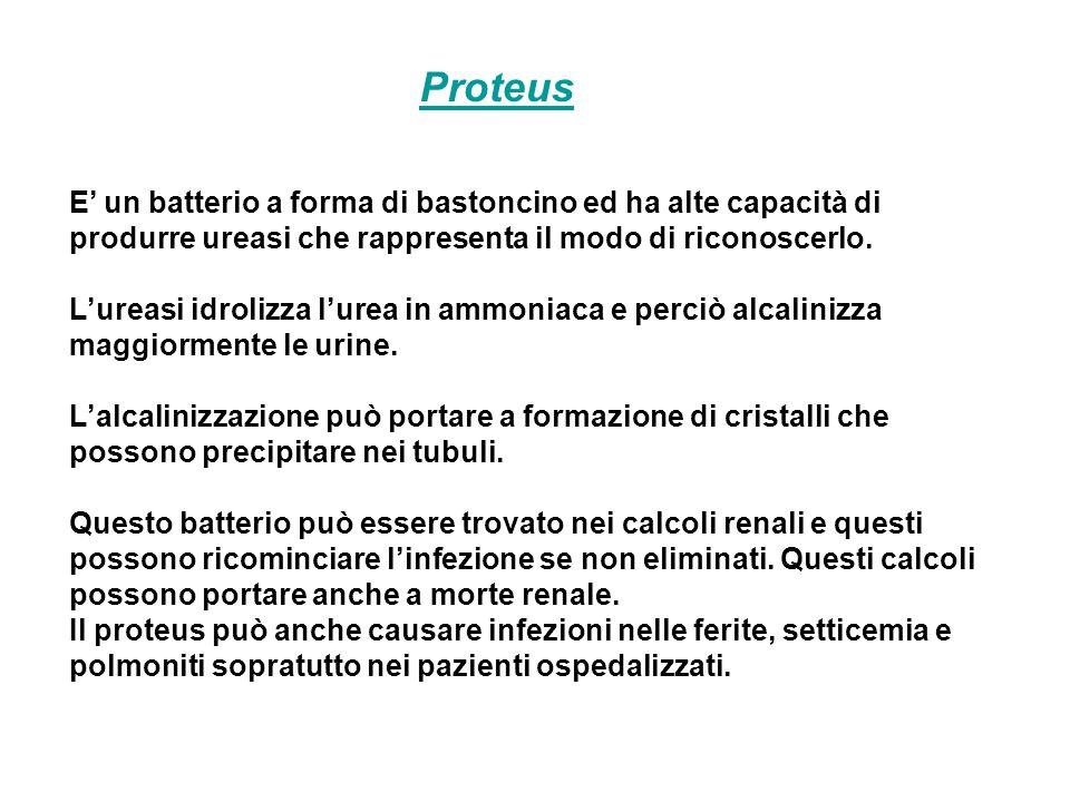 Proteus E' un batterio a forma di bastoncino ed ha alte capacità di produrre ureasi che rappresenta il modo di riconoscerlo. L'ureasi idrolizza l'urea