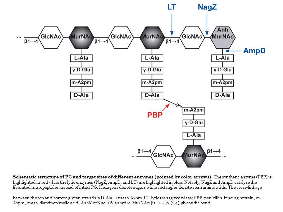 Colorazione di Gram Distingue gram positivi da gram negativi Nata per distinguere la polmonite da streptococco (gram +) e quella da klebsiella (bacillo gram -)