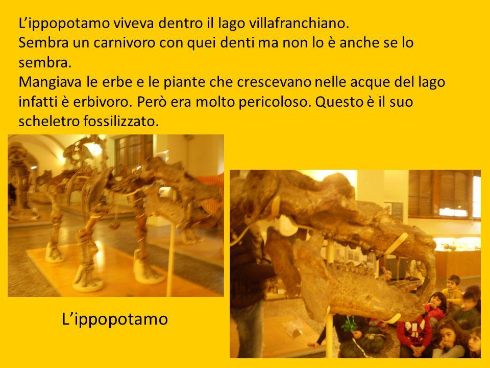 L'ippopotamo L'ippopotamo viveva dentro il lago villafranchiano. Sembra un carnivoro con quei denti ma non lo è anche se lo sembra. Mangiava le erbe e