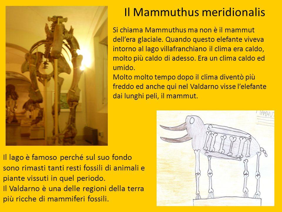 Il Mammuthus meridionalis Si chiama Mammuthus ma non è il mammut dell'era glaciale. Quando questo elefante viveva intorno al lago villafranchiano il c