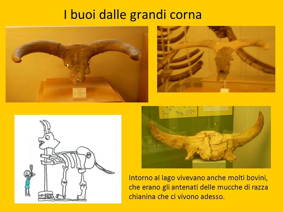 I buoi dalle grandi corna Intorno al lago vivevano anche molti bovini, che erano gli antenati delle mucche di razza chianina che ci vivono adesso.