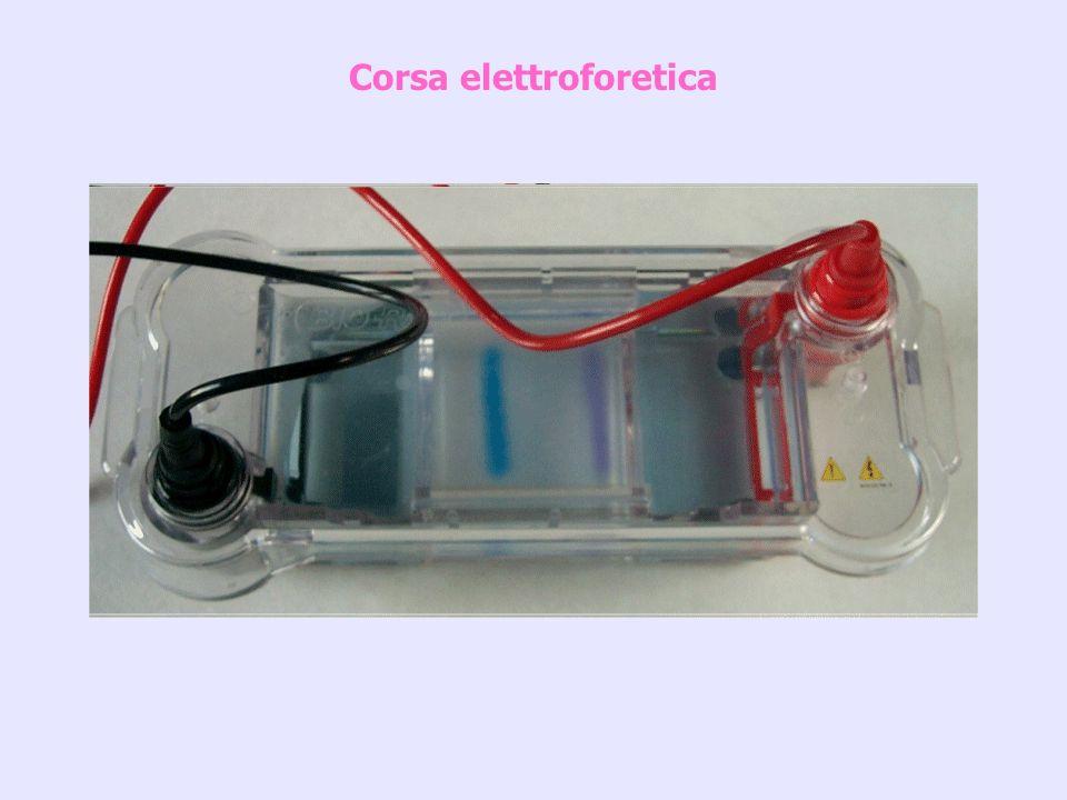 Corsa elettroforetica