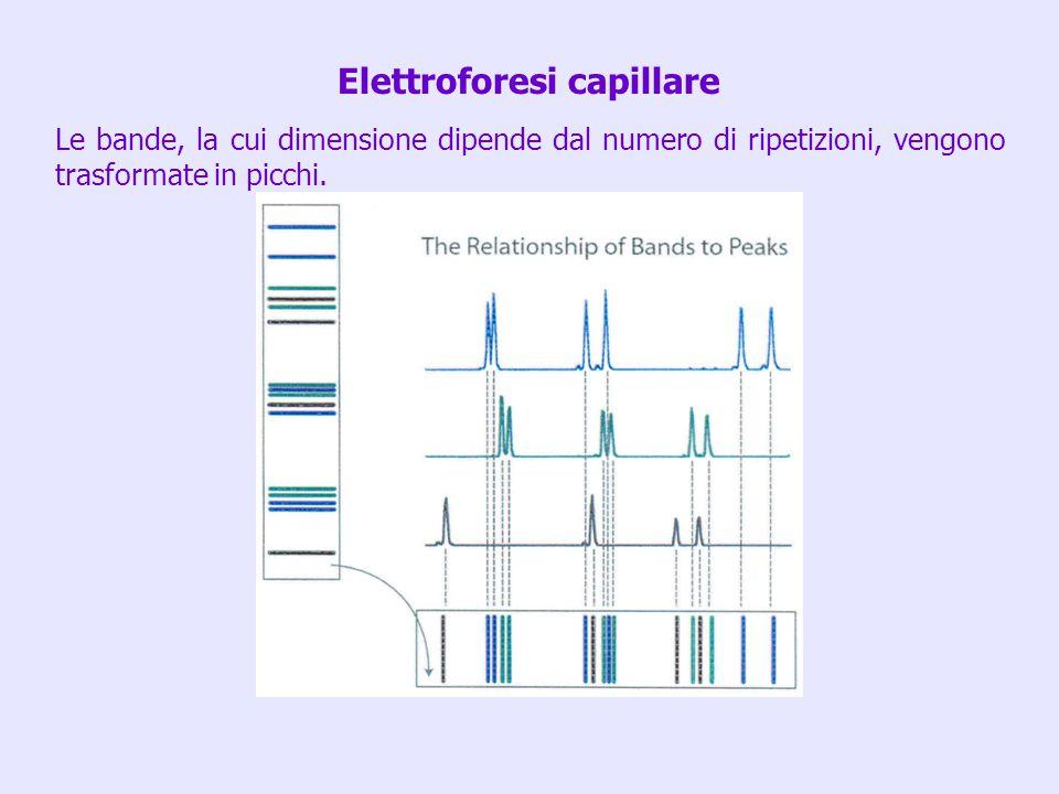 Le bande, la cui dimensione dipende dal numero di ripetizioni, vengono trasformate in picchi. Elettroforesi capillare