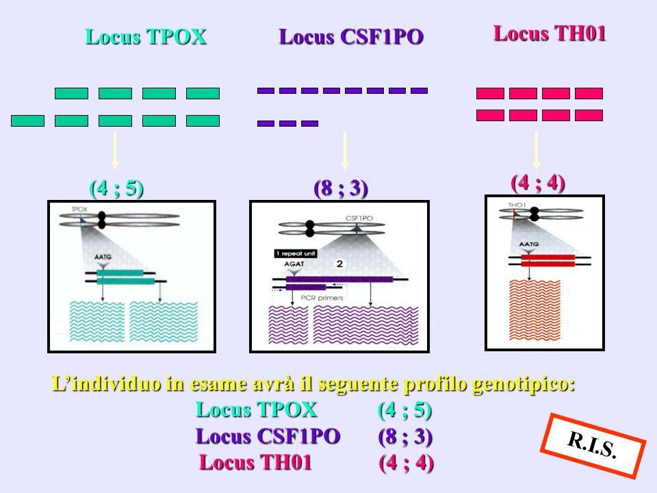 Locus TPOX Locus CSF1PO Locus TH01 (4 ; 5) (4 ; 5) (8 ; 3) (8 ; 3) (4 ; 4) L'individuo in esame avrà il seguente profilo genotipico: Locus TPOX (4 ; 5