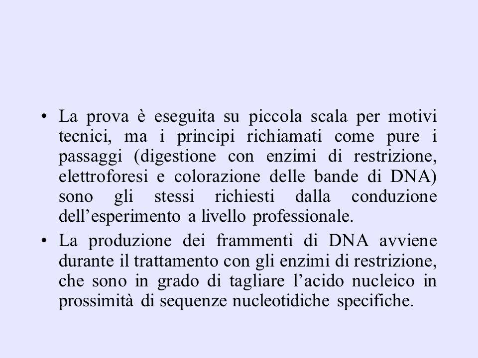 La prova è eseguita su piccola scala per motivi tecnici, ma i principi richiamati come pure i passaggi (digestione con enzimi di restrizione, elettrof