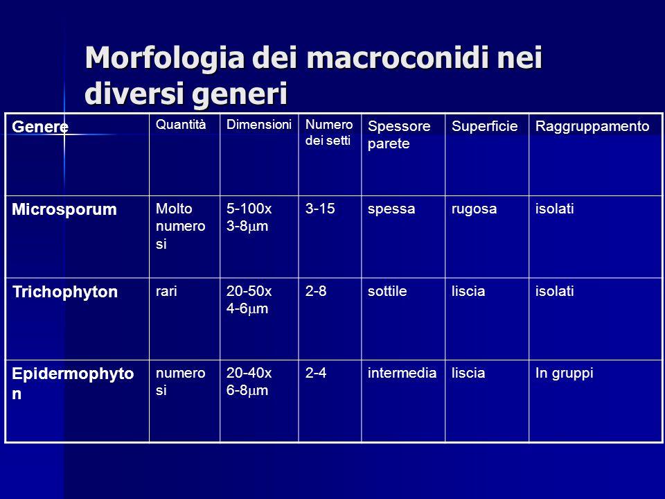 Morfologia dei macroconidi nei diversi generi Genere QuantitàDimensioniNumero dei setti Spessore parete SuperficieRaggruppamento Microsporum Molto num