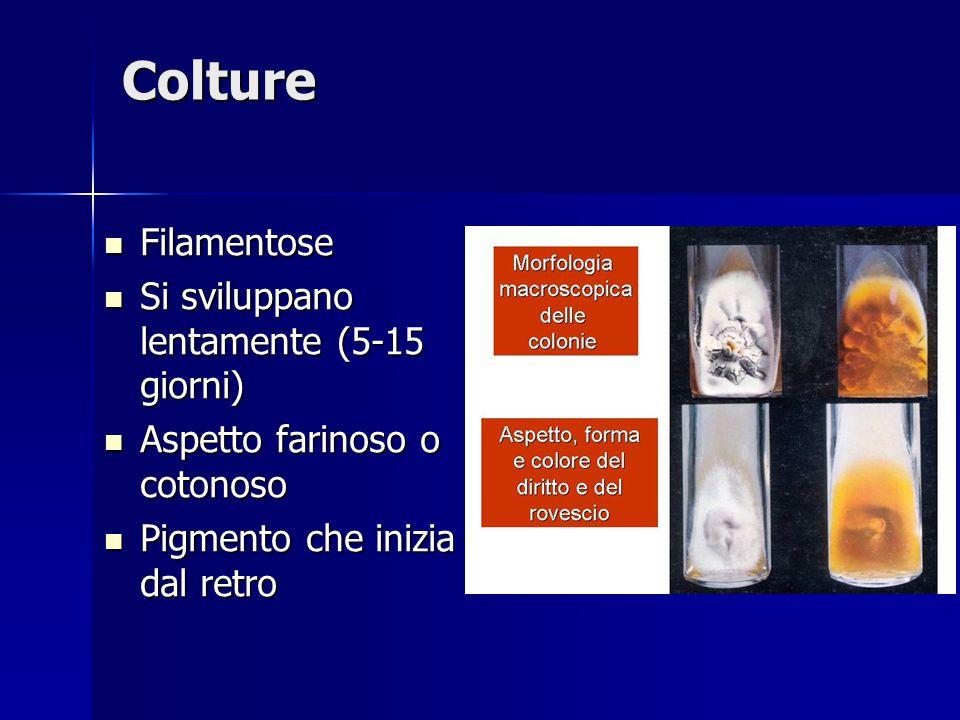 Colture Filamentose Filamentose Si sviluppano lentamente (5-15 giorni) Si sviluppano lentamente (5-15 giorni) Aspetto farinoso o cotonoso Aspetto fari
