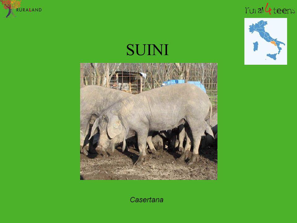 SUINI Casertana