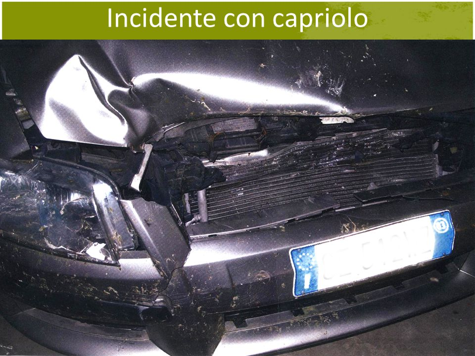 Incidente con capriolo