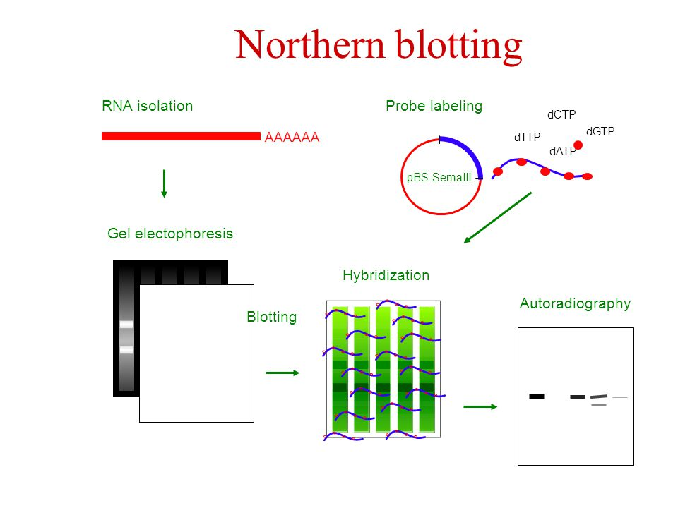 Northern blotting Probe labeling pBS-SemaIII dATP dGTP dTTP dCTP RNA isolation AAAAAA Gel electophoresis Blotting Hybridization Autoradiography