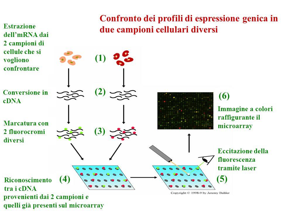 Estrazione dell'mRNA dai 2 campioni di cellule che si vogliono confrontare Conversione in cDNA Marcatura con 2 fluorocromi diversi Riconoscimento tra i cDNA Eccitazione della fluorescenza tramite laser Immagine a colori raffigurante il microarray provenienti dai 2 campioni e quelli già presenti sul microarray (1) (2) (3) (4) (5) (6) Confronto dei profili di espressione genica in due campioni cellulari diversi
