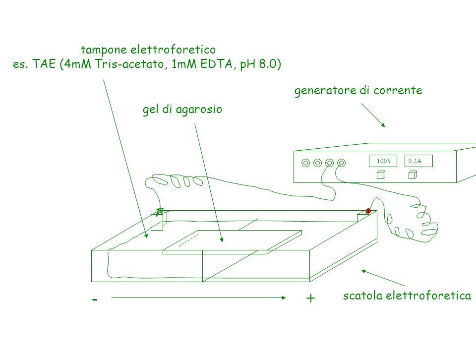 100V0,2A +- generatore di corrente gel di agarosio scatola elettroforetica tampone elettroforetico es.