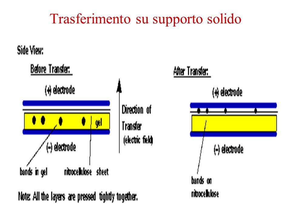 Trascrittasi Inversa-PCR Rivelazione di mRNA molto rari Analisi di RNA con pochissime quantita'