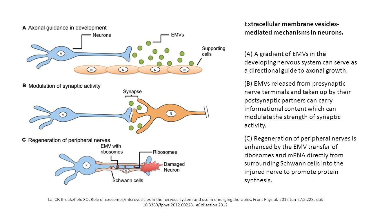 Lai CP, Breakefield XO. Role of exosomes/microvesicles in the nervous system and use in emerging therapies. Front Physiol. 2012 Jun 27;3:228. doi: 10.