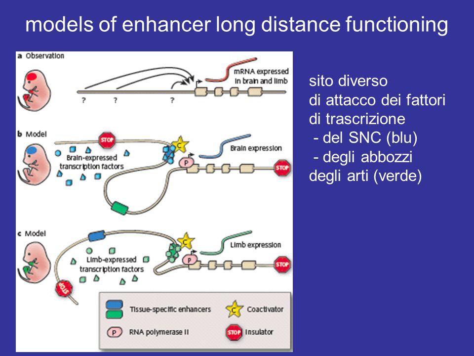 models of enhancer long distance functioning sito diverso di attacco dei fattori di trascrizione - del SNC (blu) - degli abbozzi degli arti (verde)