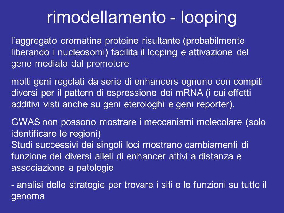 rimodellamento - looping l'aggregato cromatina proteine risultante (probabilmente liberando i nucleosomi) facilita il looping e attivazione del gene m