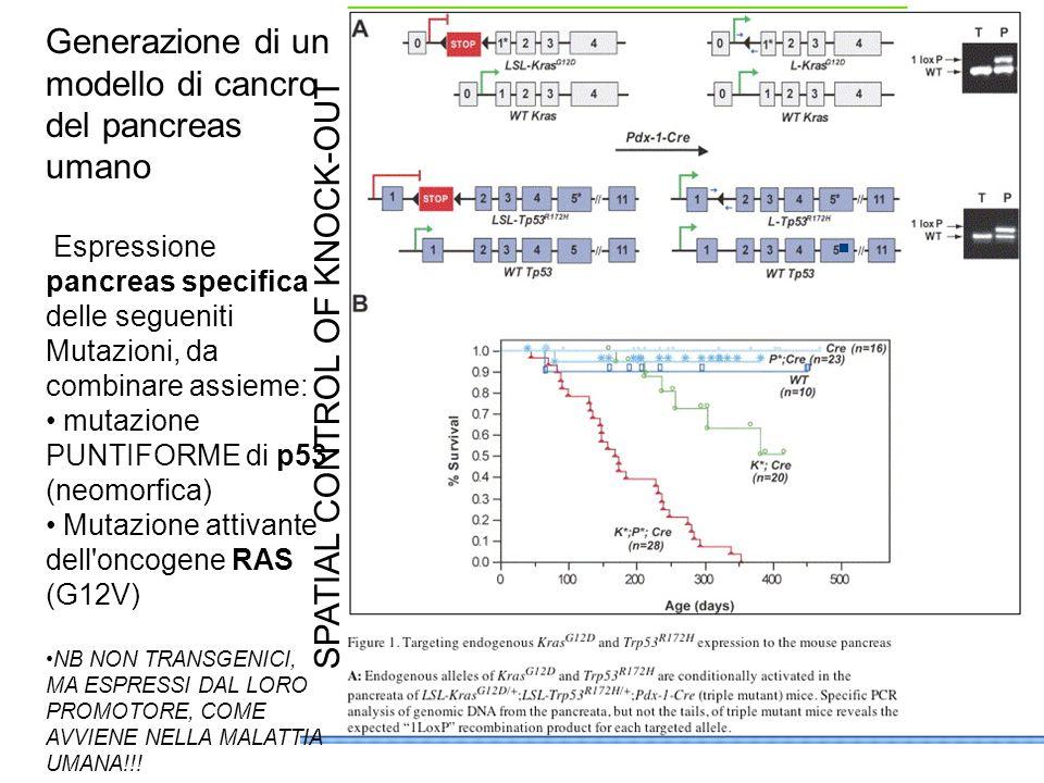 SPATIAL CONTROL OF KNOCK-OUT Generazione di un modello di cancro del pancreas umano Espressione pancreas specifica delle segueniti Mutazioni, da combi