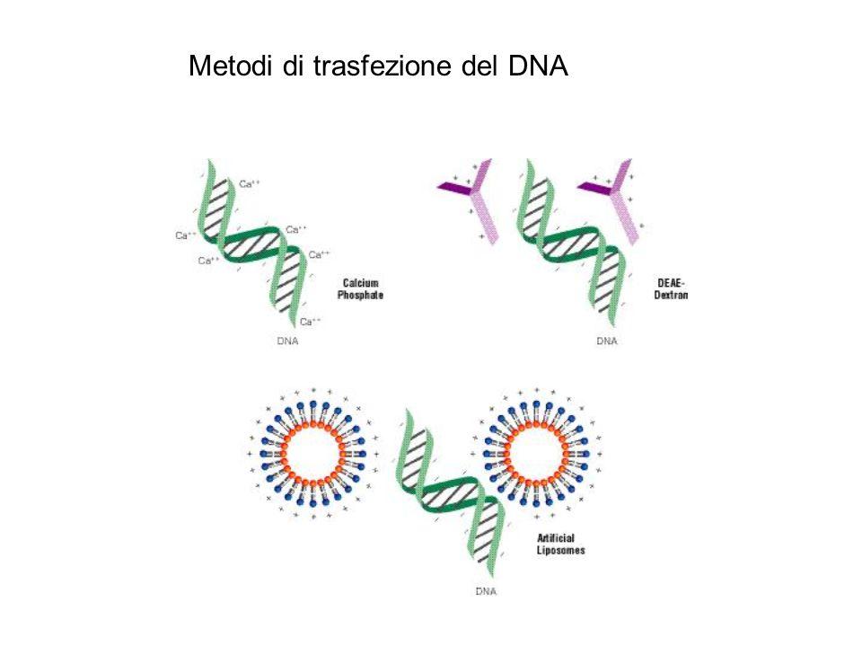 Metodi di trasfezione del DNA