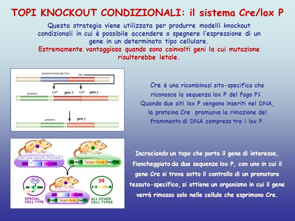 Cre è una ricombinasi sito-specifica che riconosce la sequenza lox P del fago P1. Quando due siti lox P vengono inseriti nel DNA, la proteina Cre prom
