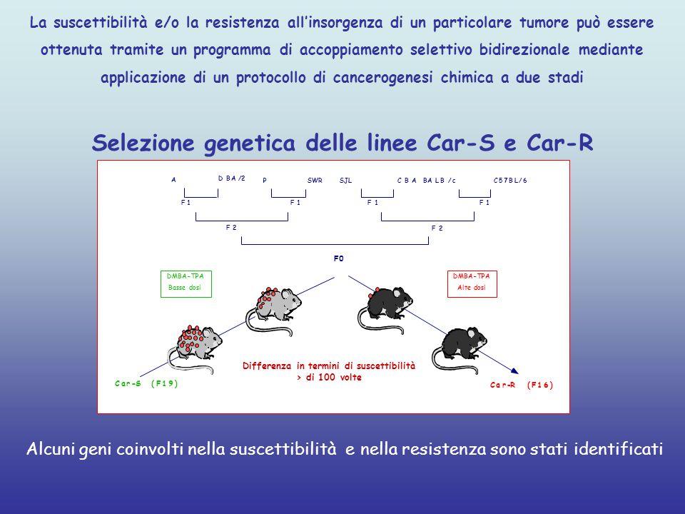 La suscettibilità e/o la resistenza all'insorgenza di un particolare tumore può essere ottenuta tramite un programma di accoppiamento selettivo bidirezionale mediante applicazione di un protocollo di cancerogenesi chimica a due stadi Selezione genetica delle linee Car-S e Car-R F0 Car-R(F16) Car-S(F19 ) A DBA/2 PSWR SJL CBABALB/cC57BL/6 F1F1F1F1 F2 F2 DMBA-TPA- Basse dosi DMBA-TPA- Alte dosi Differenza in termini di suscettibilità > di 100 volte Alcuni geni coinvolti nella suscettibilità e nella resistenza sono stati identificati