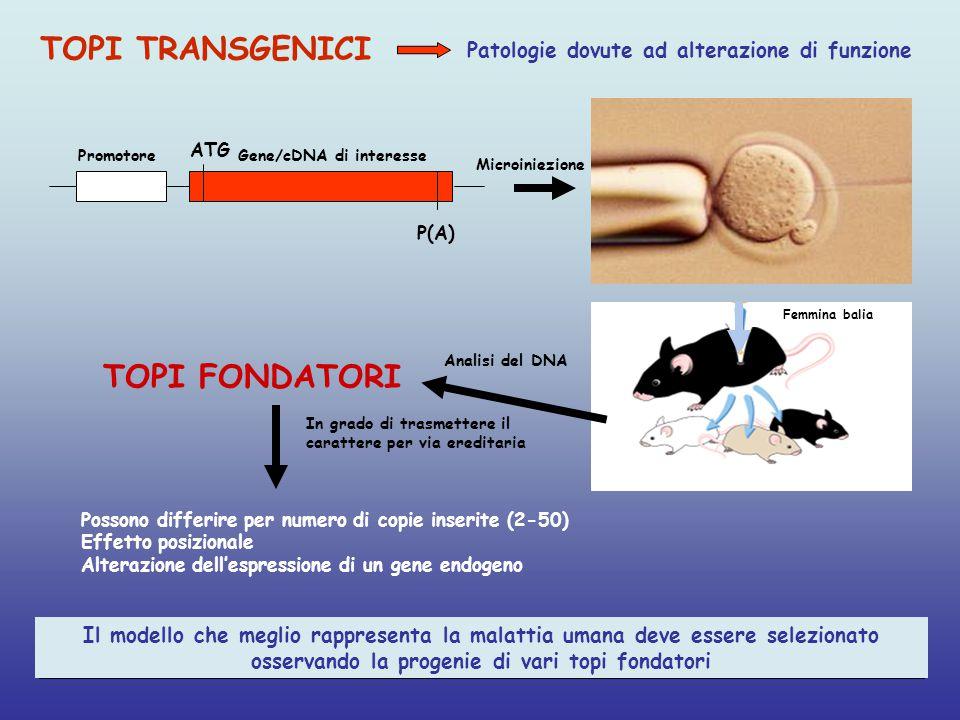 Promotore ATG P(A) Gene/cDNA di interesse TOPI FONDATORI Il modello che meglio rappresenta la malattia umana deve essere selezionato osservando la progenie di vari topi fondatori Possono differire per numero di copie inserite (2-50) Effetto posizionale Alterazione dell'espressione di un gene endogeno TOPI TRANSGENICI Patologie dovute ad alterazione di funzione Femmina balia Microiniezione In grado di trasmettere il carattere per via ereditaria Analisi del DNA