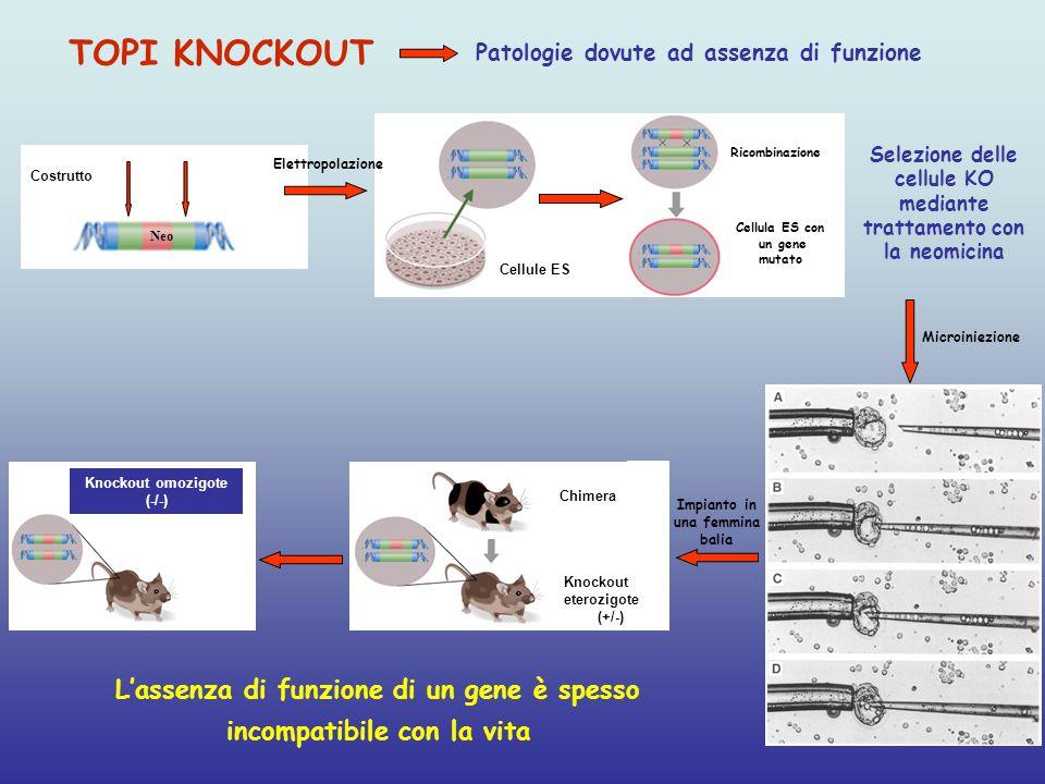 Neo Costrutto TOPI KNOCKOUT Patologie dovute ad assenza di funzione Selezione delle cellule KO mediante trattamento con la neomicina Microiniezione Knockout omozigote (-/-) Impianto in una femmina balia Chimera Knockout eterozigote (+/-) L'assenza di funzione di un gene è spesso incompatibile con la vita Cellule ES Elettropolazione Ricombinazione Cellula ES con un gene mutato