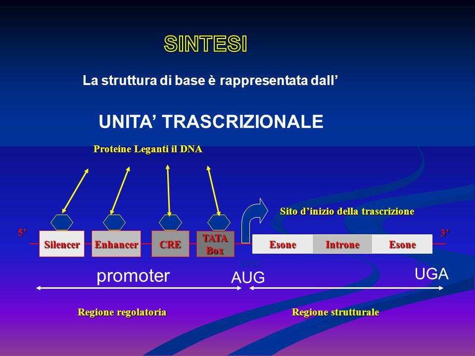 5' La struttura di base è rappresentata dall' UNITA' TRASCRIZIONALE 3' SilencerEnhancerCRE TATABox EsoneIntroneEsone Regione regolatoria Regione strut