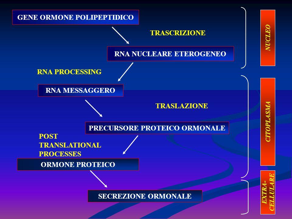 SINTESI DEGLI ORMONI PEPTIDICI NUCLEO CITOPLASMA APPARATO DI GOLGI RIBOSOMI RETICOLO ENDOPLASMATICO