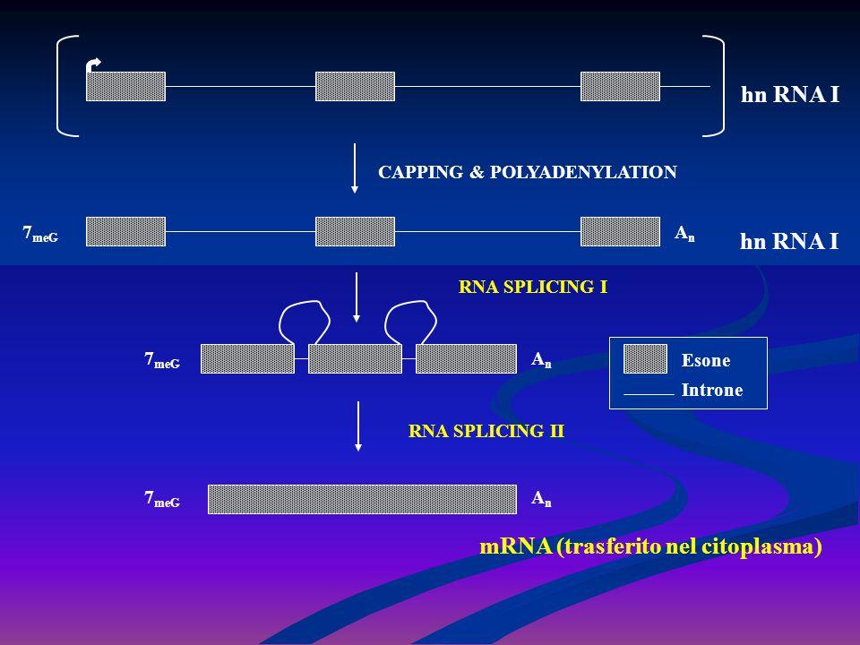 hn RNA I 7 meG AnAn CAPPING & POLYADENYLATION 7 meG AnAn AnAn mRNA (trasferito nel citoplasma) Esone Introne RNA SPLICING I RNA SPLICING II
