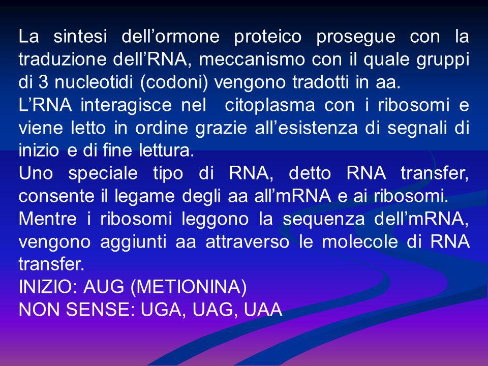 La sintesi dell'ormone proteico prosegue con la traduzione dell'RNA, meccanismo con il quale gruppi di 3 nucleotidi (codoni) vengono tradotti in aa. L