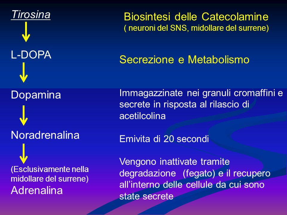 Tirosina L-DOPA Dopamina Noradrenalina (Esclusivamente nella midollare del surrene) Adrenalina Biosintesi delle Catecolamine ( neuroni del SNS, midoll