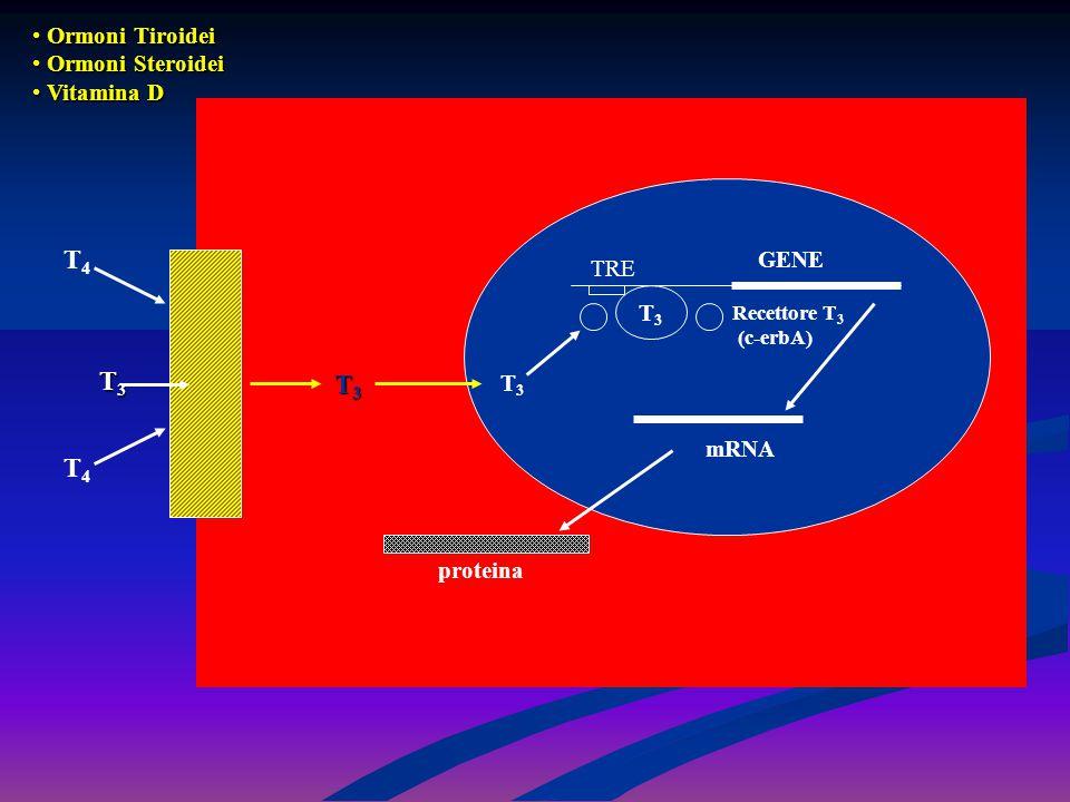 T4T4 T4T4 T3T3T3T3 T3T3 T3T3 TRE GENE Recettore T 3 (c-erbA) mRNA proteina Ormoni Tiroidei Ormoni Tiroidei Ormoni Steroidei Ormoni Steroidei Vitamina