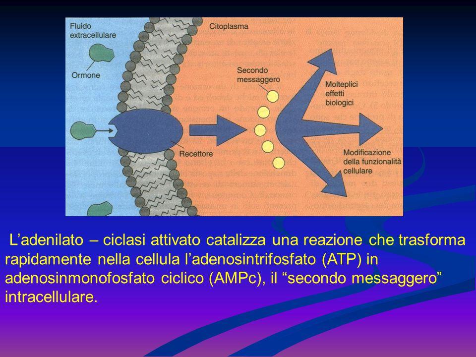 L'adenilato – ciclasi attivato catalizza una reazione che trasforma rapidamente nella cellula l'adenosintrifosfato (ATP) in adenosinmonofosfato ciclic