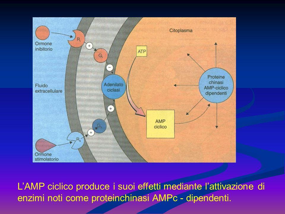 Le proteine fosforilate danno il via alle diverse reazioni chimiche di cui è capace la cellula.
