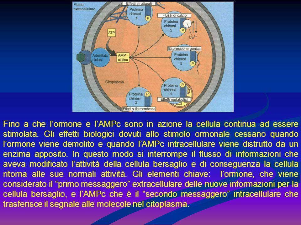 Fino a che l'ormone e l'AMPc sono in azione la cellula continua ad essere stimolata. Gli effetti biologici dovuti allo stimolo ormonale cessano quando