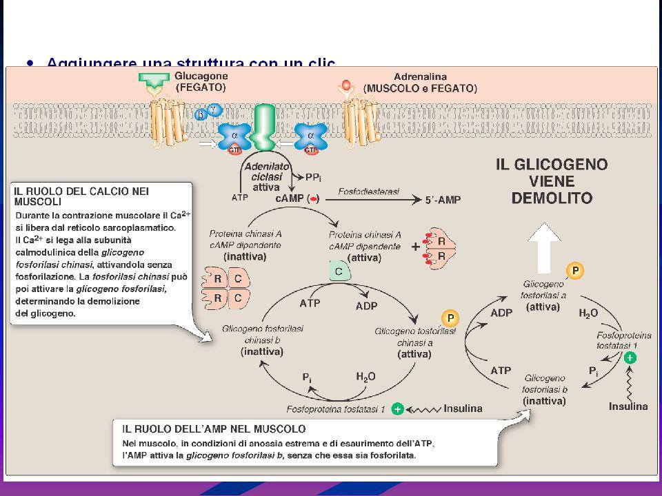 Anche gli ormoni che agiscono mediante recettori di membrana possono modulare la trascrizione dei geni, come avviene per gli ormoni che agiscono attraverso I recettori nucleari